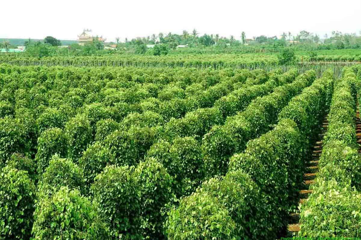 L'histoire du poivre de Phu Quoc
