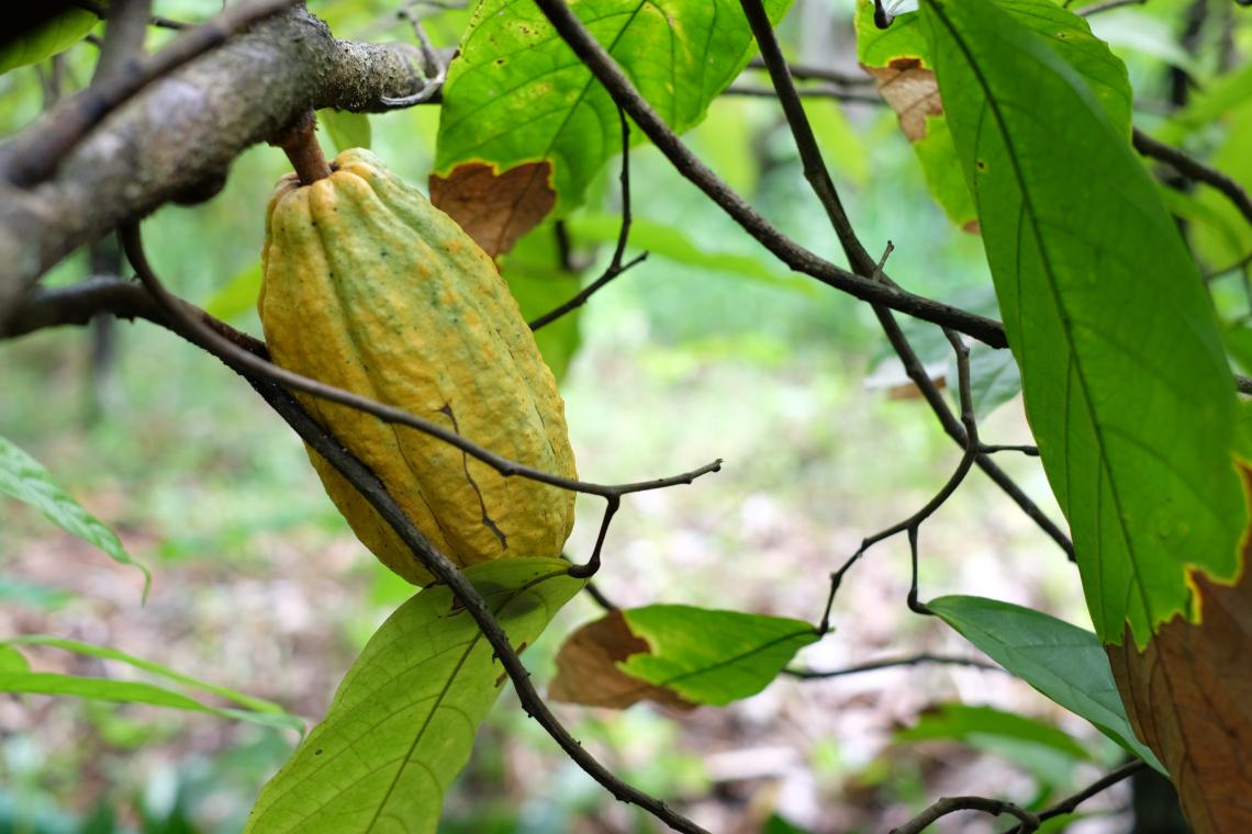 Se promener dans la ferme de cacao biologique